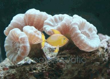 Candy Coral - Caulestrea furcata - Candy Buttons Coral - Big Pipe Coral - Candycane Coral - Trumpet Coral