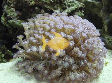 Assorted Flower Pot Coral - Goniopora lobata - Daisy Coral - Flower Pot Coral - Sunflower Coral - Yoo Stone Coral