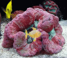 Open Brain Coral (Red) - Trachyphyllia geoffroyi - Green Open Brain Coral