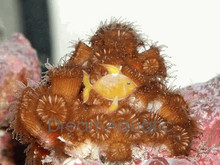 Sun Coral (Black) - Tubastraea micrantha - Branched Black Sun Coral - Branched Black Tube Coral