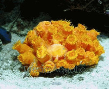Sun Coral (Orange) - Tubastrea aurea - Tube Orange Coral - Sun Coral Tube Coral - Orange Sun Coral