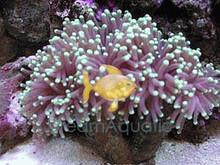 Torch Coral - Euphyllia glabrescens - Trumpet Coral - Grape Coral - Pom-Pom Coral - Whisker Coral