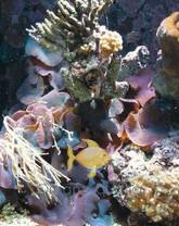 Assorted Mushrooms - Actinodiscus species - Disc Anemones - Flower Corals - Mushroom Anemones