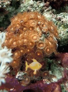 Button Polyp - Brown - Epizoanthus species - Sea Mats - Moon Polyps - Encrusting Anemones