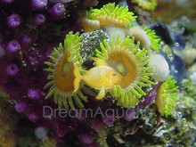 Button Polyp - Green - Epizoanthus species - Sea Mats - Moon Polyps - Encrusting Anemones