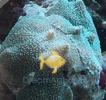 Elephant's Ear Mushrooms - Rhodactis mussoides - Disc Anemones - Flower Corals - Mushroom Anemones