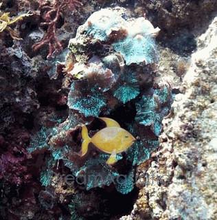Green Metallic Mushrooms - Actinodiscus species - Disc Anemones - Flower Corals - Mushroom Anemones