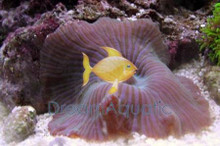 Striped Mushroom - Colored - Actinodiscus species - Disc Anemones - Flower Corals - Mushroom Anemones