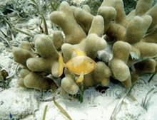 Porites Coral - Porites species - Finger Coral - Honeycomb Coral - Jeweled Finger Coral
