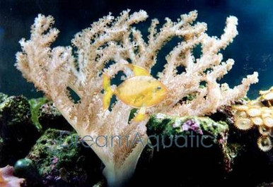 Colt Coral - Cladiella species - Blushing Coral - Soft Finger Leather - Colt Soft Coral