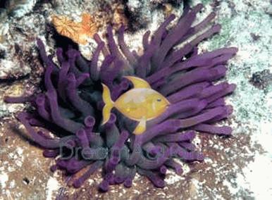 Condylactis Anemone - Condylactis gigantea - Condy Anemone - Atlantic Anemone - Haitian Anemone