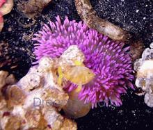 Sebae Anemone - Long Tentacle - Heteractis crispa - Leather Anemone - Radianthus keukenthali