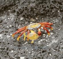 Sally Lightfoot Crab - Percnon gibbesi - Sally Light Foot Crab