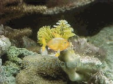 Xmas Tree Worm Rock - Spirobranchus species - Bisma Rock - Multicolor Worms - Plume Rock - Christmas Tree Worm