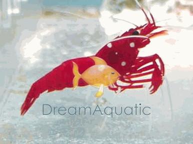 Fire Shrimp - Lysmata debelius - Scarlet Cleaner Shrimp - Blood Shrimp - Fire Shrimp