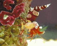 Sexy Shrimp - Sexy Anemone Shrimp