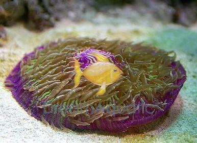 Astraea Snail - Astrea species - Conehead Algae Eater