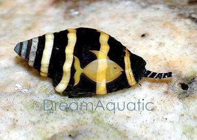 Bumble Bee Snail Tiny - Pusiostoma mendicaria - Bumble Bee Snail