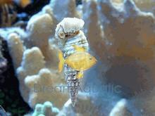 Cerith Snail - Cerithidae genus