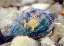Nassarius Snail - Nassarius species - Nassarius Snails