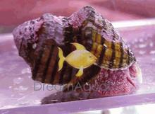 Red Foot Algae Snail - Norrisia norrisi - Norris Top Snail