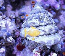 Trochus Snail (Banded) - Trochus species - Turban Snail