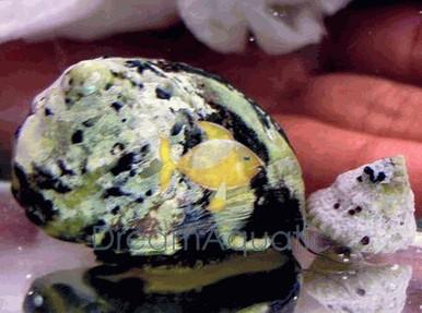 Turbo Snail Mexican - Turbo fluctuosa - Turbo Grazer