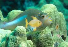 Arc-Eye Hawkfish - Paracirrhites arcatus - Arc Eye Hawk Fish