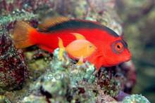 Flame Hawkfish - Neocirrhites armatus - Fire Hawk Fish