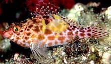Pixy / Spotted Hawkfish - Cirrhitichyhys oxycephalus - Coral Hawk Fish