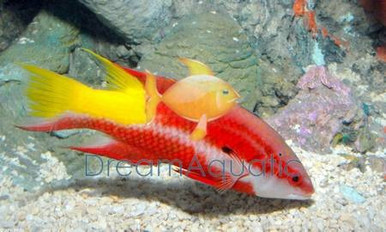 Cuban Hogfish - Bodianus pulchellus - Spotfin Hogfish