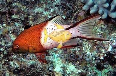 Lyretail Hogfish - Bodianus anthioides - Forktail Hog Fish