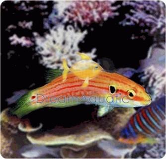 Two Spot Hogfish - Bodianus bimaculatus - Twinspot Hogfish - Twospot Slender Hogfish - Yellow Hogfish