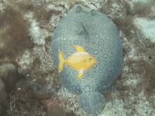 Assorted Flounder - Bothus lunatus - Flatfish - Peacock Flounder