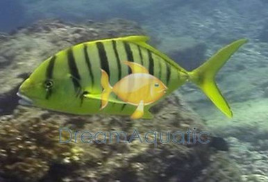 Gold Trevally - Gnathanodon speciosus - Golden Trevally Fish - Golden Jack