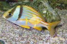 Porkfish - Anisotremus virginicus - Grunt - Porgy - Pork Fish