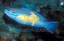 Princess Parrotfish - Scarus teaniopterus - Princess Green Parrot Fish