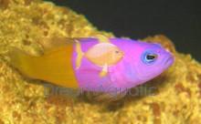 Royal Dotty back fish - Pseudochromis paccagnellae - Bicolor Pseudochromis Dottyback Fish