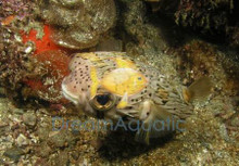 Porcupine Puffer - Diodon holocanthus - Spiny Puffer - Porcupine Fish - Long-Spine Porcupine Fish - Balloon Fish