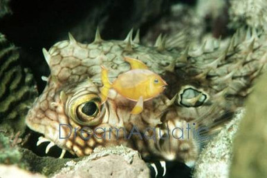 Spiny Box Puffer - Chilomycterus antillarum - Bridled Burrfish - Striped Burr Fish