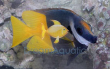 Fiji Bicolor Foxface Rabbitfish - Lo uspae - Fiji Foxface - Bicolored Fox face Rabbit Fish