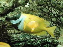Foxface Rabbitfish - Lo vulpinus - Fox face Rabbit Fish