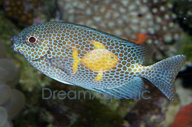 Golden Spotted Foxface Rabbitfish - Siganus chrysospilos - Gold Spotted Fox face Rabbit Fish