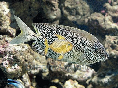 Orange Spotted Foxface Rabbitfish - Siganus guttatus - Siganus chrysospilos - Gold Spotted Fox face Fish - Gold Spotted Rabbit Fish