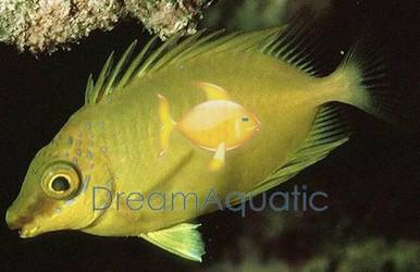 Yellow Foxface Rabbitfish - Siganus Corallinus - Siganus tetrazonus - Blue Spotted Fox face Rabbit Fish