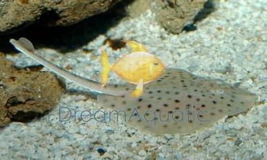 California Spotted Stingray - Urolophus halleri - Round Sting Ray