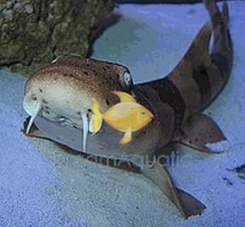 Bamboo Cat Shark - Chiloscyllium punctatum - Brownbanded ...