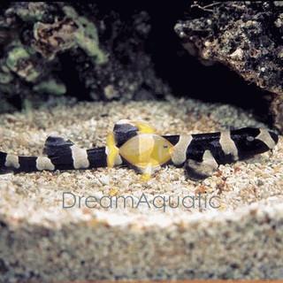 Black Banded Cat Shark - Chiloscyllium punctatum - Banded Cat Shark - Brownbanded Bamboo Shark