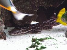 Marble Cat Shark - Chiloscyllium punctatum - Marble Bamboo Shark