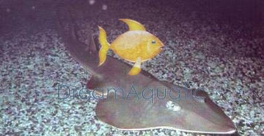 Shovelnose Shark - Rhinobatos productus - Shovelnose Shark